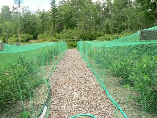 Green Plastic Netting Covering On Trees To Prevent Birds Eating Fruit